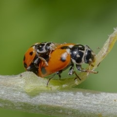 Hippodamia variegata (Spotted Amber Ladybird) at ANBG - 4 Dec 2019 by WHall