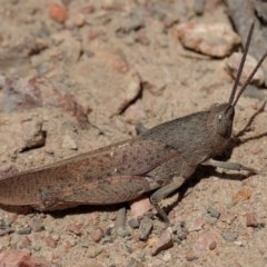 Goniaea carinata (Black kneed gumleaf grasshopper) at Mount Painter - 1 Dec 2019 by CathB