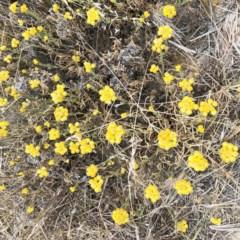 Chrysocephalum apiculatum (Common Everlasting) at Hackett, ACT - 1 Dec 2019 by ruthkerruish