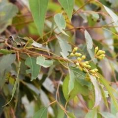 Eucalyptus paniculata (Grey Ironbark) at Conjola National Park - 10 Aug 2019 by NicholasdeJong