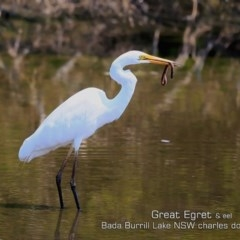Ardea alba (Great Egret) at Wairo Beach and Dolphin Point - 28 Nov 2019 by Charles Dove