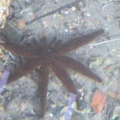 Coscinasterias muricata (Eleven-armed Seastar) at Batemans Marine Park - 24 Oct 2019 by HelenR