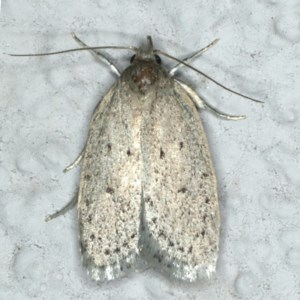 Eulechria undescribed species at Ainslie, ACT - 25 Nov 2019