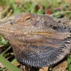 Pogona barbata (Eastern Bearded Dragon) at ANBG - 3 Dec 2019 by Tim L