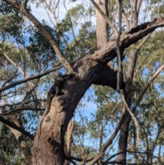 Varanus varius (Lace Monitor) at Belanglo State Forest - 5 Dec 2019 by Margot