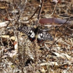 Papilio anactus (Dainty Swallowtail) at Red Hill Nature Reserve - 4 Dec 2019 by TomT