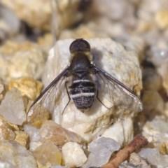 Villa sp. (genus) (Unidentified Villa bee fly) at Namadgi National Park - 5 Dec 2019 by Marthijn