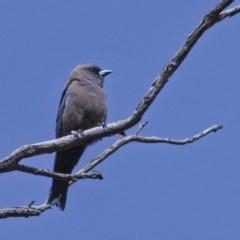 Artamus cyanopterus (Dusky Woodswallow) at Namadgi National Park - 5 Dec 2019 by Marthijn