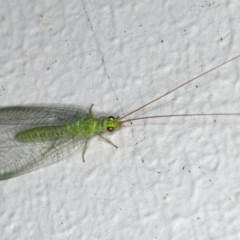 Mallada signata (A Green Lacewing) at Ainslie, ACT - 27 Oct 2019 by jbromilow50