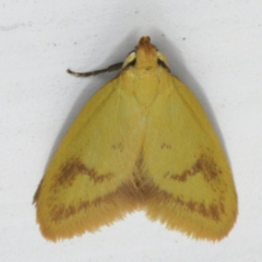 Aeolothapsa malacella at Ainslie, ACT - 27 Oct 2019