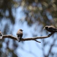 Artamus cyanopterus (Dusky Woodswallow) at Gundaroo, NSW - 27 Oct 2019 by jbromilow50