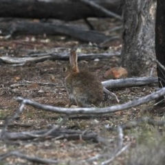 Oryctolagus cuniculus (European Rabbit) at Ainslie, ACT - 30 Oct 2019 by jbromilow50