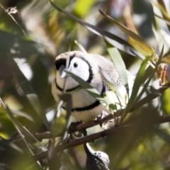 Taeniopygia bichenovii (Double-barred Finch) at Michelago, NSW - 2 Aug 2019 by Illilanga