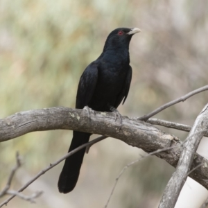 Eudynamys orientalis at Michelago, NSW - 22 Nov 2019