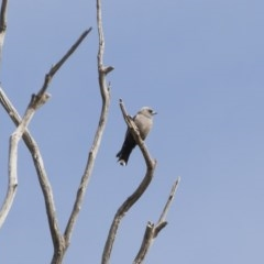 Artamus cyanopterus (Dusky Woodswallow) at Illilanga & Baroona - 28 Oct 2019 by Illilanga