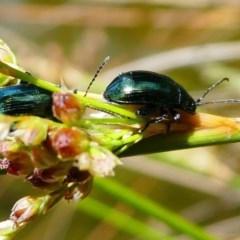 Arsipoda chrysis (Flea beetle) at Acton, ACT - 1 Dec 2019 by HarveyPerkins