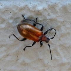 Ecnolagria grandis (Honeybrown beetle) at Acton, ACT - 1 Dec 2019 by HarveyPerkins
