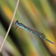 Austrolestes psyche (Cup Ringtail) at Acton, ACT - 30 Nov 2019 by HarveyPerkins