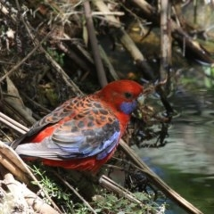 Platycercus elegans (Crimson Rosella) at ANBG - 1 Dec 2019 by HarveyPerkins