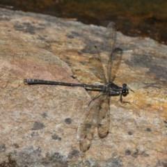 Austroargiolestes icteromelas (Common Flatwing) at Acton, ACT - 30 Nov 2019 by HarveyPerkins