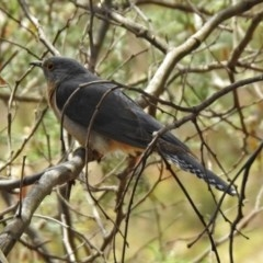 Cacomantis flabelliformis (Fan-tailed Cuckoo) at Gigerline Nature Reserve - 5 Dec 2019 by RodDeb