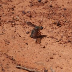 Comptosia stria (A bee fly) at Majura, ACT - 7 Dec 2019 by DPRees125