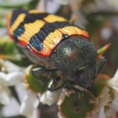 Castiarina burchellii (Burchell's jewel beetle) at Kangaroo Valley, NSW - 6 Dec 2019 by Harrisi