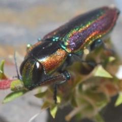 Selagis caloptera (Jewel beetle) at Kangaroo Valley, NSW - 6 Dec 2019 by Harrisi