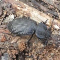 Adelium porcatum (Darkling Beetle) at Namadgi National Park - 10 Feb 2018 by HarveyPerkins