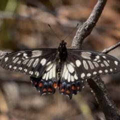 Papilio anactus (Dainty Swallowtail) at ANBG - 30 Nov 2019 by rawshorty
