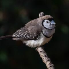 Taeniopygia bichenovii (Double-barred Finch) at Symonston, ACT - 5 Dec 2019 by rawshorty