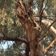 Trichoglossus moluccanus (Rainbow Lorikeet) at Red Hill Nature Reserve - 7 Dec 2019 by KL