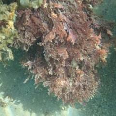 Unidentified Red Algae (TBC) at Bermagui, NSW - 6 Dec 2019 by libbyh