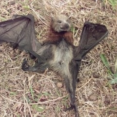 Pteropus poliocephalus (TBC) at Bawley Point, NSW - 5 Dec 2019 by GLemann
