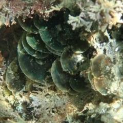 Unidentified Brown algae (TBC) at Bermagui, NSW - 6 Dec 2019 by libbyh