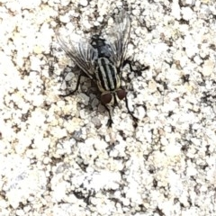 Sarcophagidae sp. (family) (Unidentified flesh fly) at Aranda, ACT - 8 Dec 2019 by Jubeyjubes