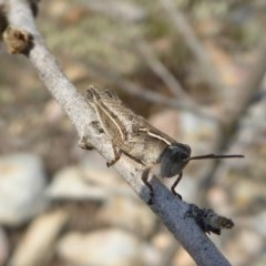 Phaulacridium vittatum (Wingless Grasshopper) at Rugosa at Yass River - 8 Dec 2019 by SenexRugosus