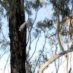 Cacatua galerita (Sulphur-crested Cockatoo) at Hughes Garran Woodland - 5 Dec 2019 by ruthkerruish