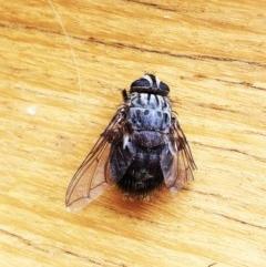 Rutilia (Rutilia) sp. (genus & subgenus) (Bristle fly) at Hughes, ACT - 8 Dec 2019 by ruthkerruish