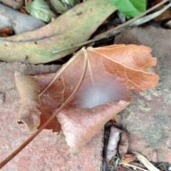 Helpis minitabunda (Jumping spider) at Aranda, ACT - 7 Dec 2019 by KMcCue