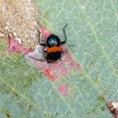 Dicranolaius bellulus (Red and Blue Pollen Beetle) at The Pinnacle - 7 Dec 2019 by AlisonMilton