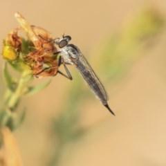 Cerdistus sp. (genus) (Robber fly) at Molonglo Valley, ACT - 7 Dec 2019 by AlisonMilton