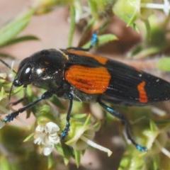 Castiarina pulchripes (Jewel beetle) at Kangaroo Valley, NSW - 6 Dec 2019 by Harrisi