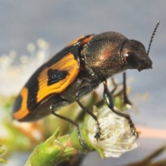 Castiarina undulata (Undulata jewel beetle) at Kangaroo Valley, NSW - 6 Dec 2019 by Harrisi
