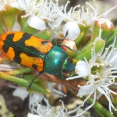 Castiarina scalaris (Scalaris jewel beetle) at Cavan, NSW - 7 Dec 2019 by Harrisi