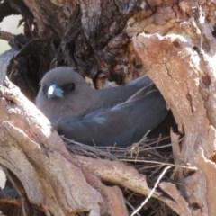 Artamus cyanopterus (Dusky Woodswallow) at Namadgi National Park - 3 Dec 2019 by RobParnell