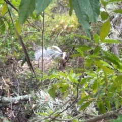 Menura novaehollandiae (Superb Lyrebird) at Wingecarribee Local Government Area - 7 Dec 2019 by KarenG