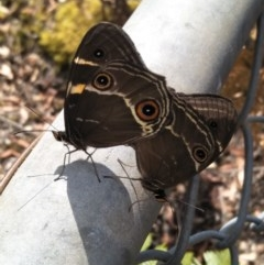 Tisiphone abeona (TBC) at Wingecarribee Local Government Area - 7 Dec 2019 by KarenG