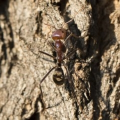 Iridomyrmex purpureus (Meat Ant) at Michelago, NSW - 10 Sep 2018 by Illilanga