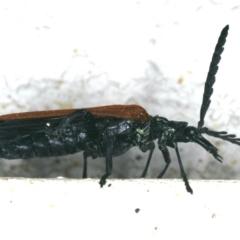 Porrostoma rhipidium at Ainslie, ACT - 2 Nov 2019